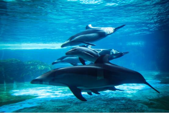 珠海长隆一连成功繁育三头太平洋白边海豚,暑期可以去看看了
