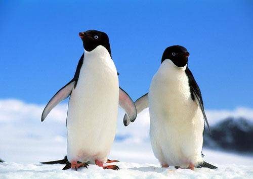 为什么北极熊不吃企鹅?答案其实非常简单